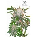 White Widow - Dutch Passion femminizzati