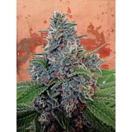 Auto Blue Amnesia - Ministry of Cannabis femminizzati Ministry of Cannabis €42,00