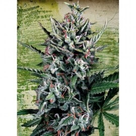 Auto Silver Bullet - Ministry of Cannabis femminizzati Ministry of Cannabis €42,00