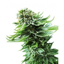Northern Lights Automatic - Sensi Seeds femminizzati