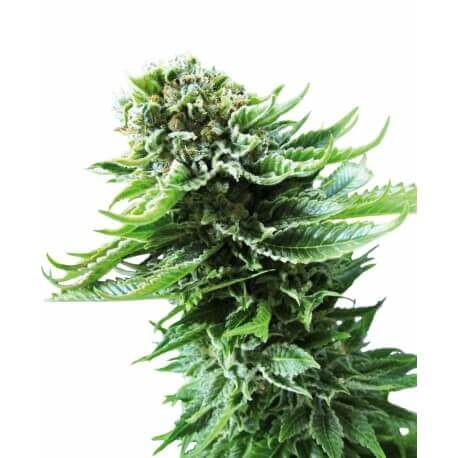 Northern Lights Automatic - Sensi Seeds femminizzati Sensi Seeds €34,00
